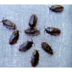 Kakerlaken 12er Packung